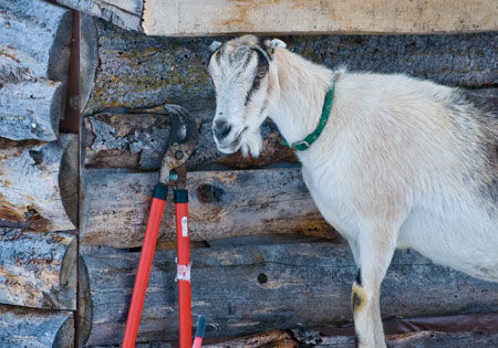 zoey-alpine-lamancha-dairy-goat